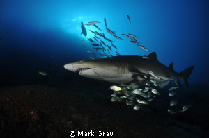 """Mother Ship?"". Grey Nurse Shark at Fish Rock, South West... by Mark Gray"